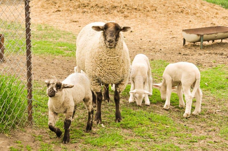 Sheep and Lambs. A ewe an some lambs stock photo