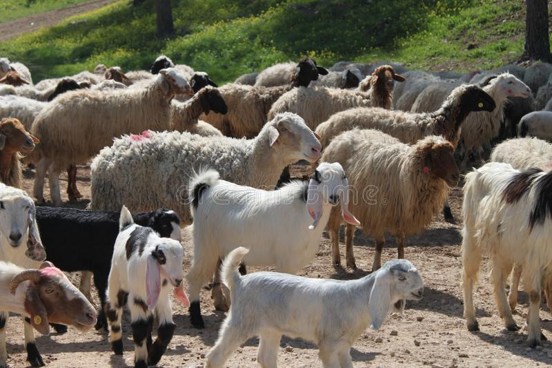 Sheep and Lambs in a Field royalty free stock image