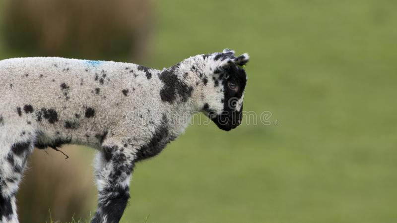 Single baby lamb outdoors in a grass field royalty free stock photos