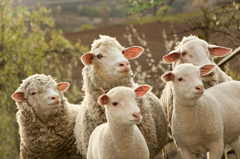 Download Sheep and lambs on pasture stock photo. Image of fluffy - 24322762