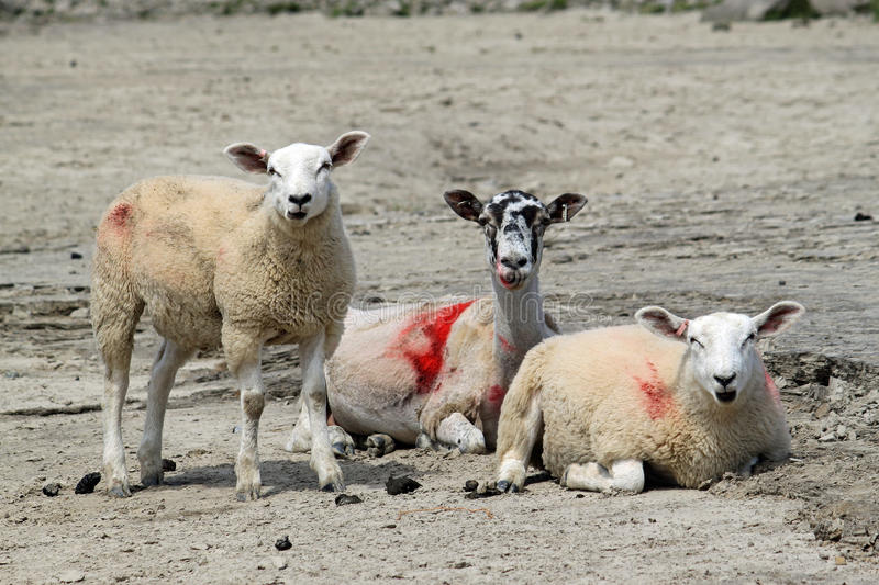 Sheep With Lambs On Shore At Arnside. Stock Photo