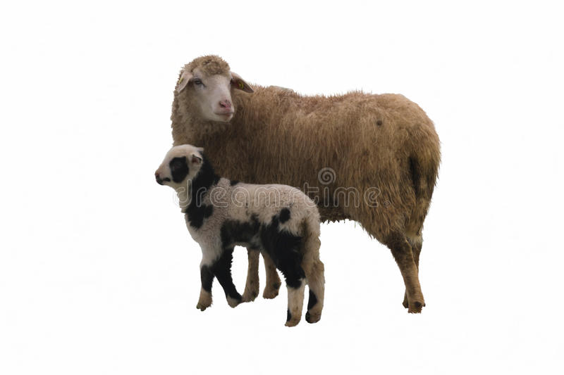 Sheep and lambs in the snow stock image
