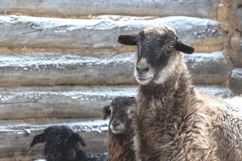 Sheep with lambs in the snowfall. Winter, little lambs with a sheep near the wooden house. White snow stock photo
