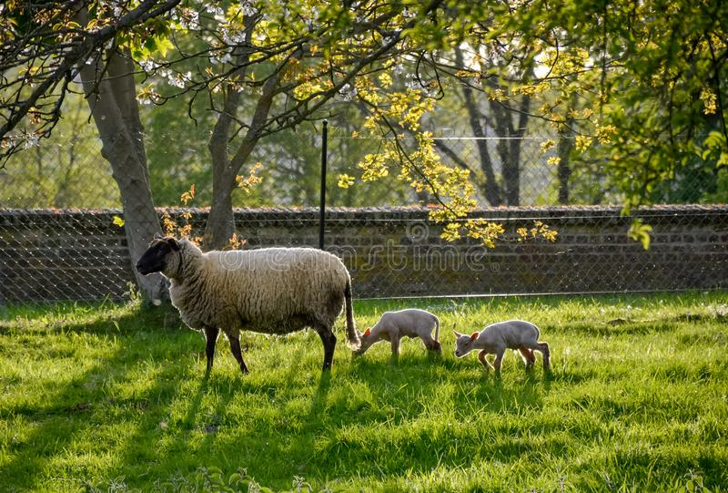 Sheep Eating Grass In The Grass Garden         Stock Photo