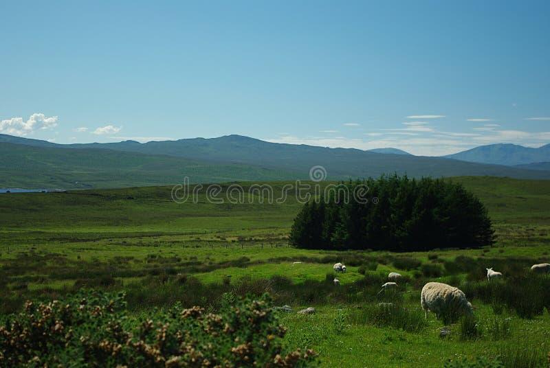 Download Sheep On Landscape Stock Images - Image: 10685874