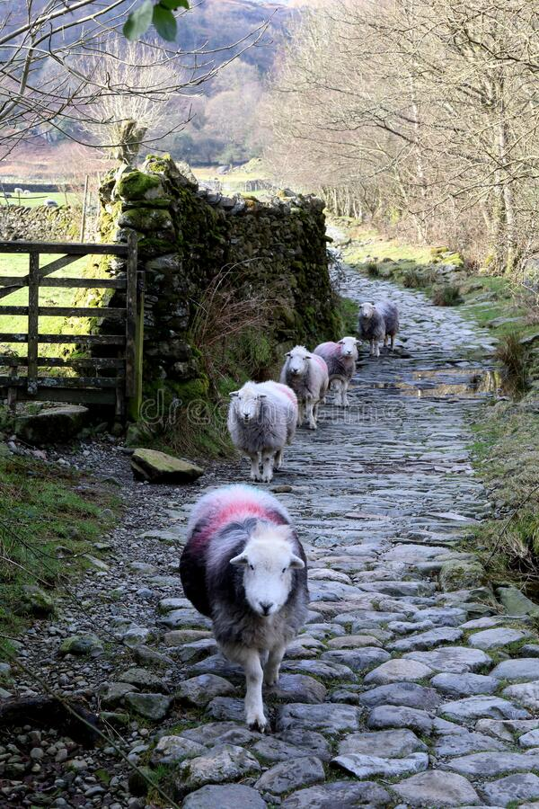 Sheep in Line. stock image