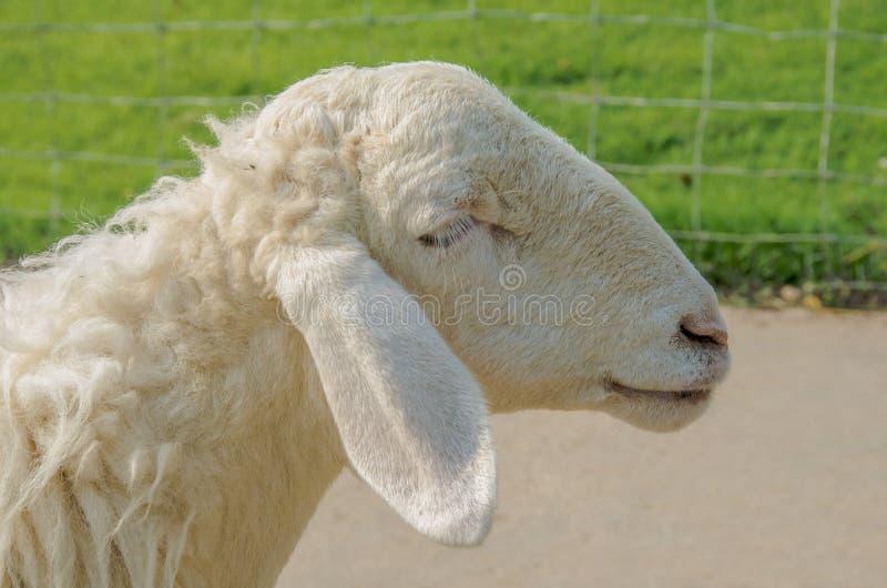 Download Sheep stock image. Image of countryside, farm, animal - 54020521