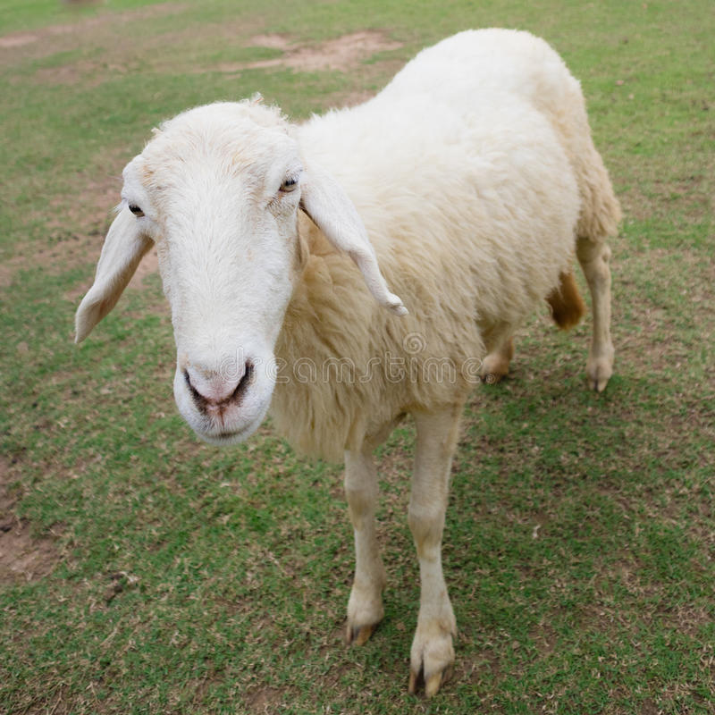 Download Sheep Stock Photo - Image: 83705786