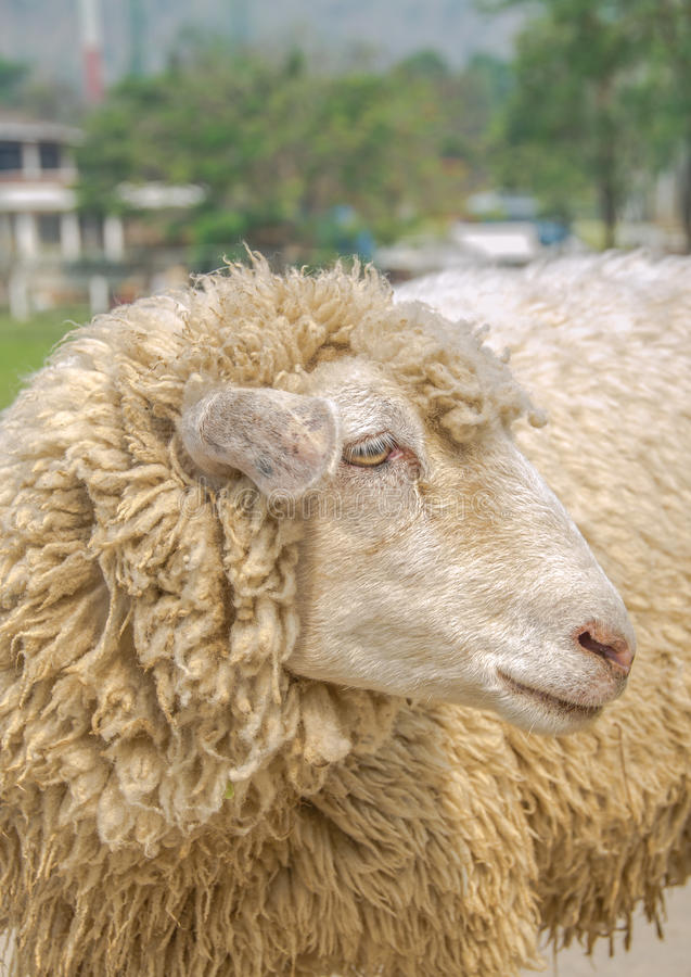 Download Sheep stock image. Image of front, portrait, beautiful - 54020579