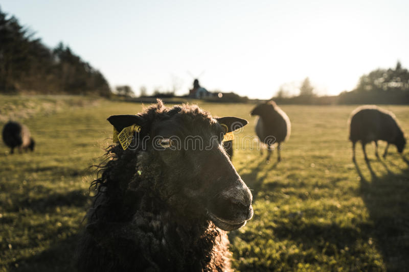 Sheep looking to the camera closeup, rural area in Denmark with herd of sheeps stock photography