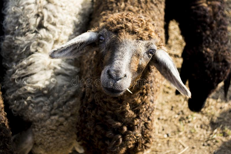 A Sheep Looking Up royalty free stock photos