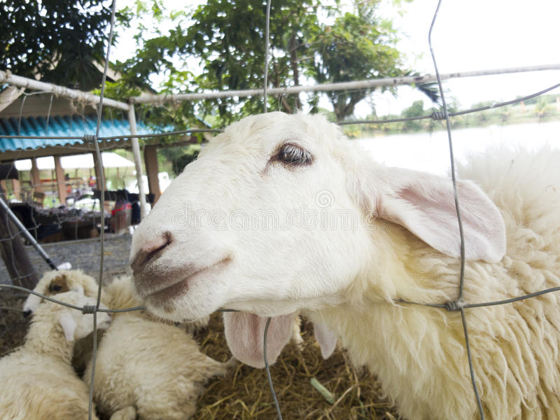 Sheep Looking Through Wire Fence. Stock Photo - Image of ...