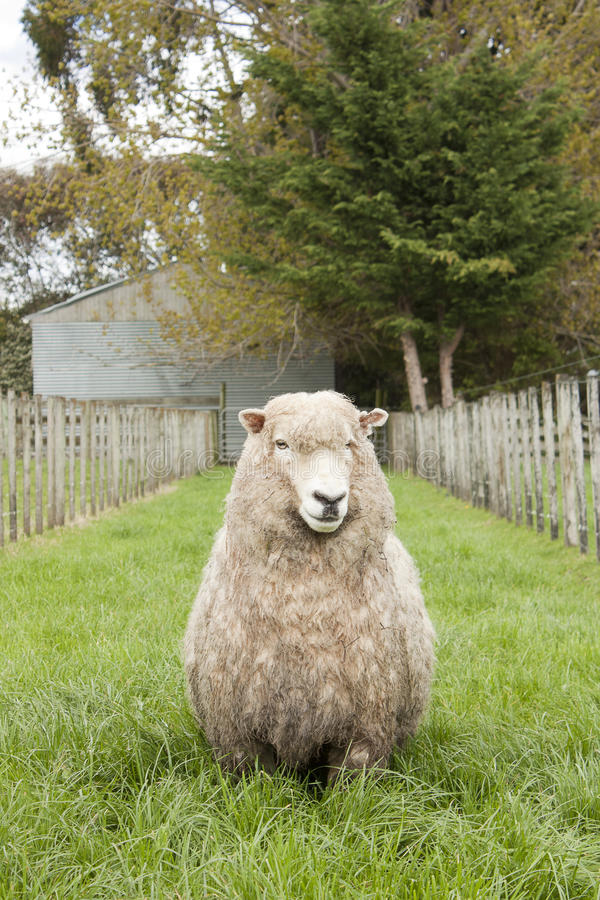Download Sheep stock image. Image of nature, outdoor, farm, cute - 33894745