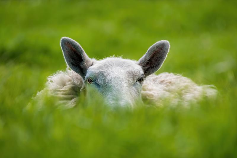 Sheep lying in grass on a sunny day stock images