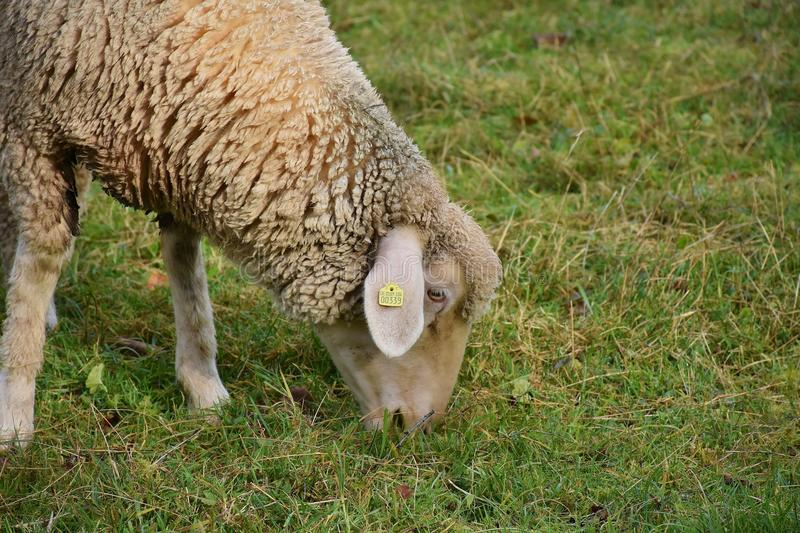 Sheep, Mammal, Grass, Pasture royalty free stock photography