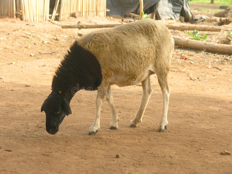 Sheep. The sheep is a mammal herbivore of the family Bovidae, of the subfamily Caprinae Ovis and gender. The young animal is the lamb (female: lamb), the female stock images