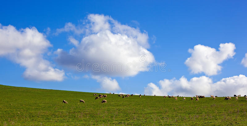 Download Sheep in a Meadow stock image. Image of peace, hillside - 10446535