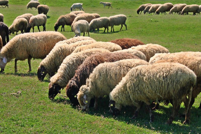 Download Sheep on meadow stock image. Image of ecology, head, animals - 5272333