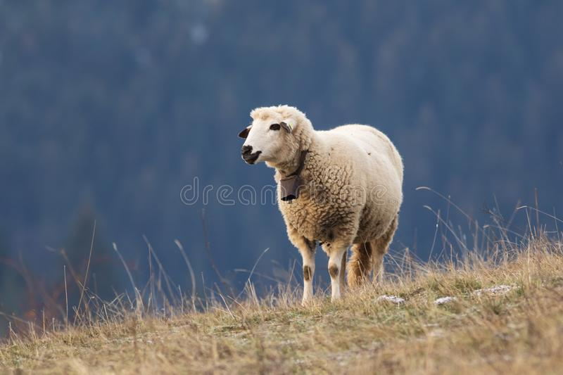 Sheep on the meadow with bell royalty free stock photos