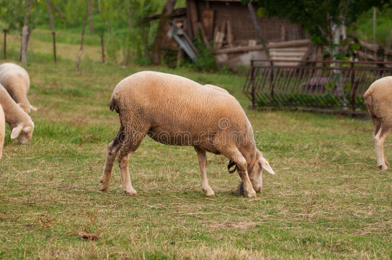 The sheep on the meadow  eat grass royalty free stock photography