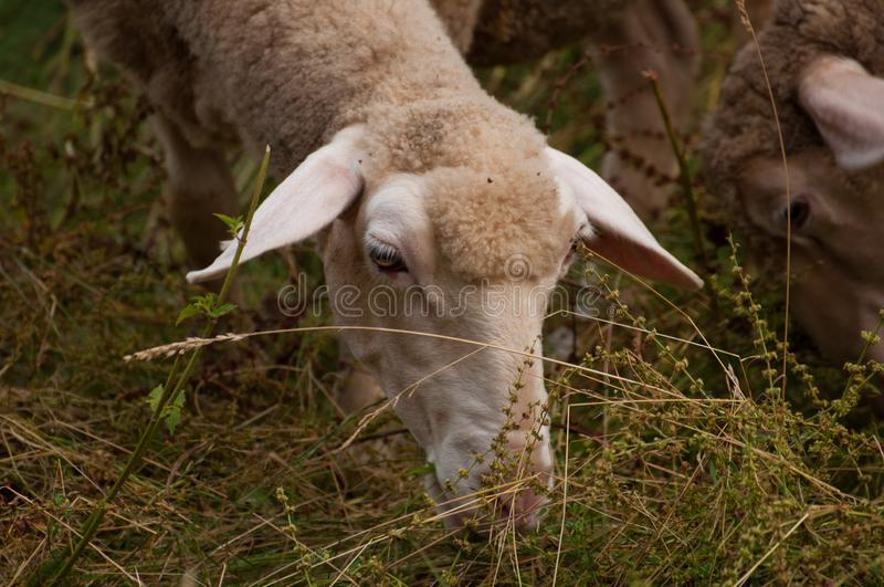 The sheep on the meadow  eat grass stock photo