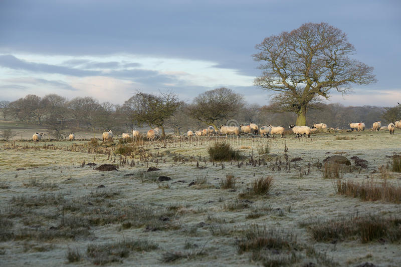 Sheep in meadow on a frosty morning stock photography