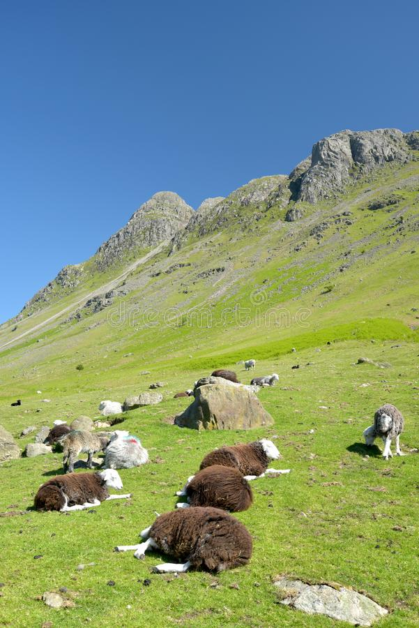 Sheep in Mickleden valley beneath Langdale Pikes, Lake District. Sheep grazing in Mickleden valley beneath the Langdale Pikes in the English Lake District royalty free stock photos