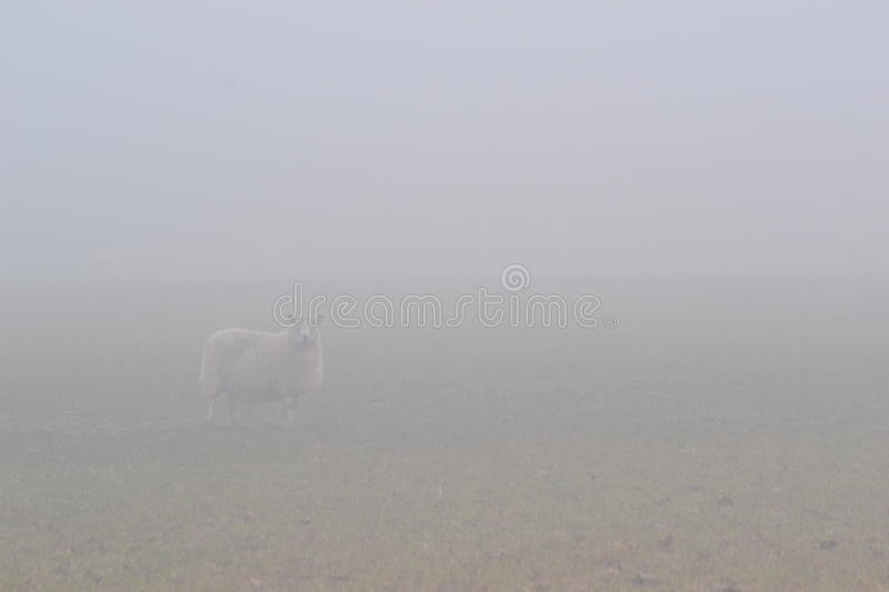 Sheep in the mist. Rural scence of Sheep lost in the mist or fog stock photo