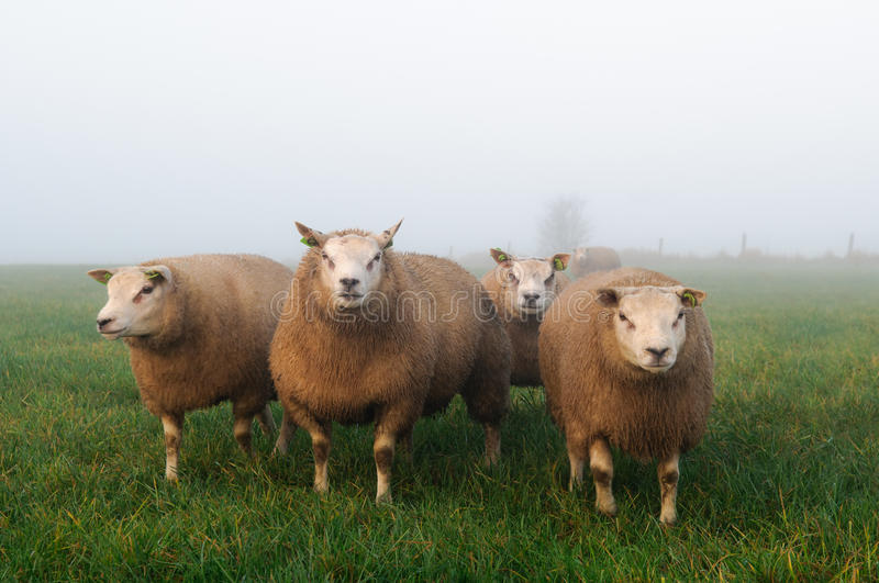 Sheep in misty meadow stock images