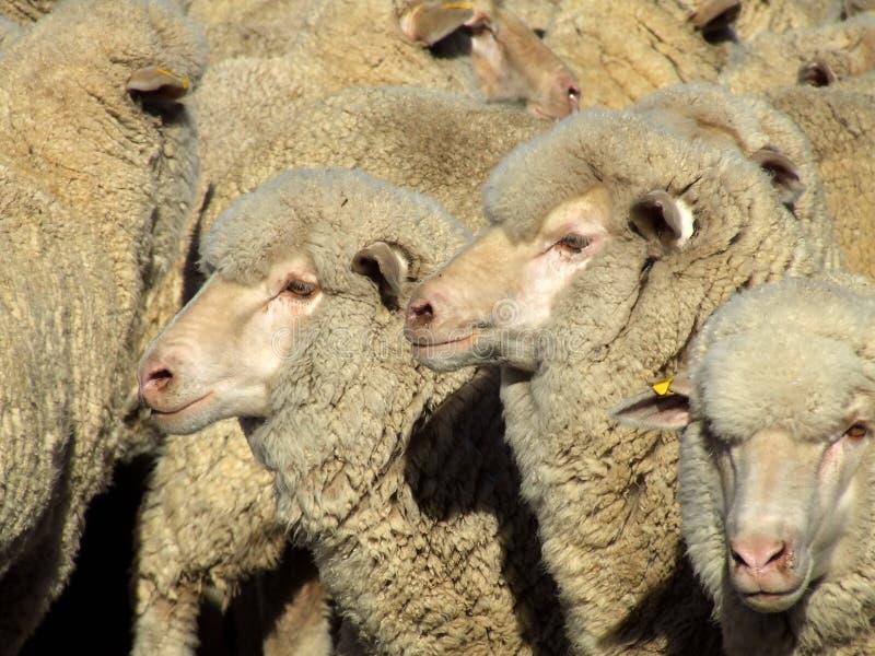 Sheep - Mob stock image