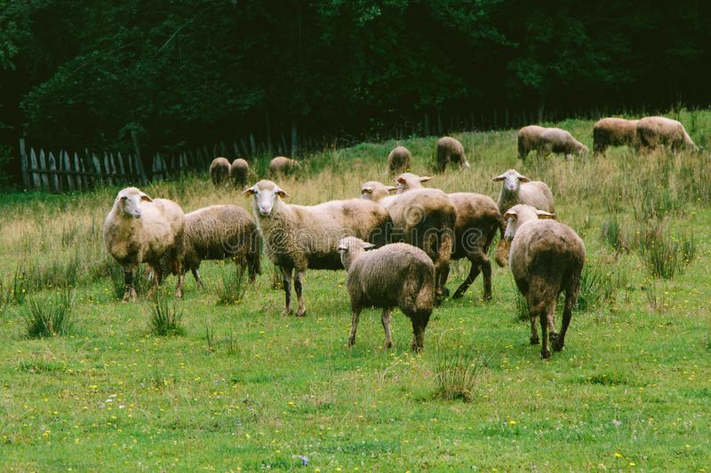 Sheep Mostly Spooked. A herd of sheep finding more food to graze in Caparde, Bosnia, a small village close to Belgrade. They bound away after noticing me with my royalty free stock photography