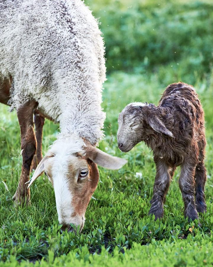 Sheep mother and Lamb Grazing green eating royalty free stock photography