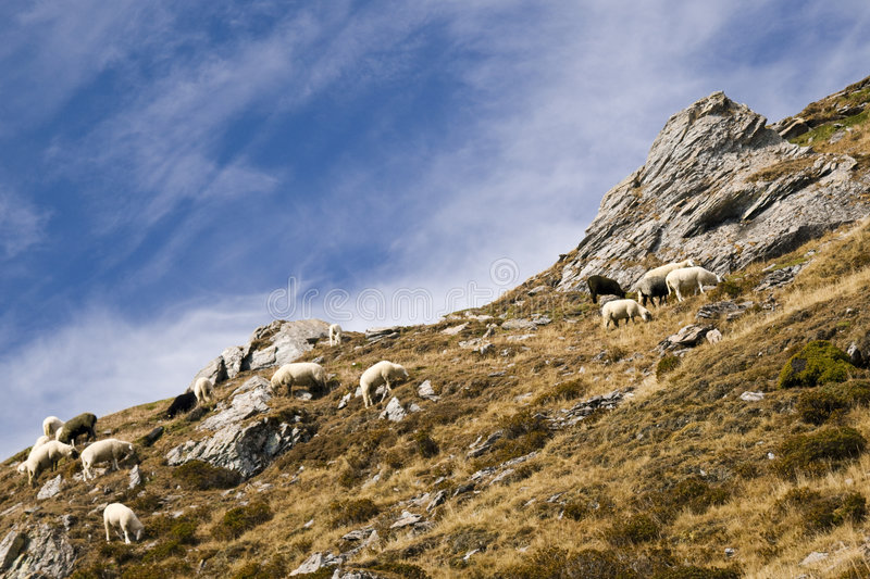 Sheep in the mountain. Sheep on a mountain with grass and rocks in a sunny day - Austria 2007 royalty free stock images
