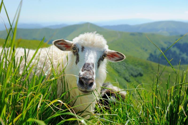 Sheep in mountain stock image