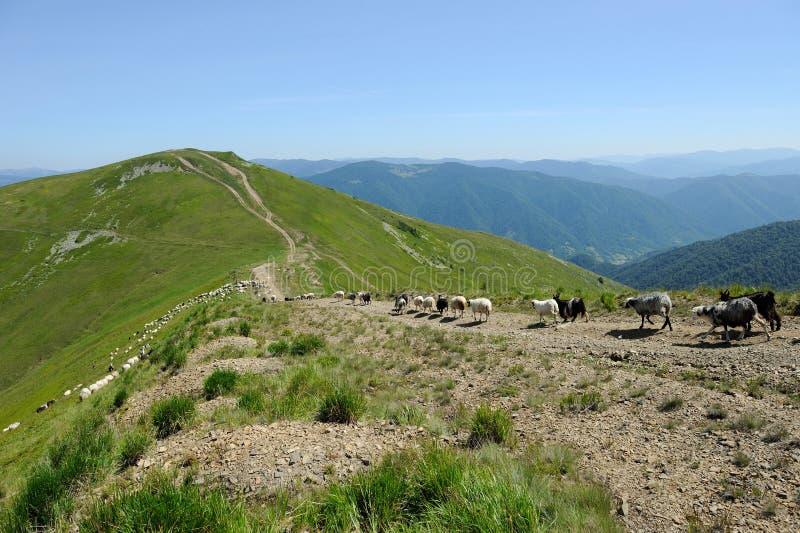 Sheep in mountain royalty free stock photos