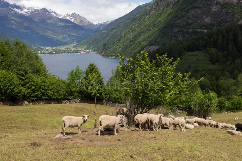 Sheep in mountain pastures stock photography