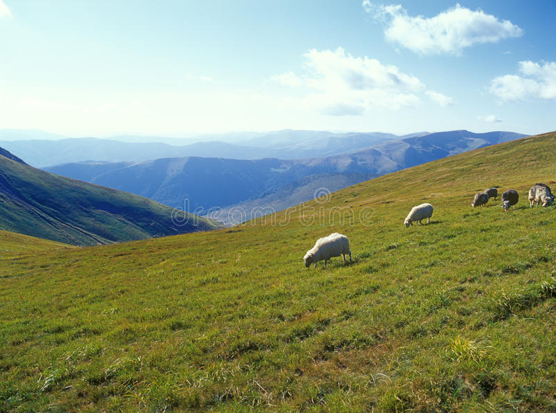 Sheep In Mountains. Royalty Free Stock Photography