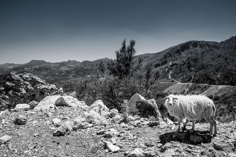 Sheep on the mountains of Crete, stock image