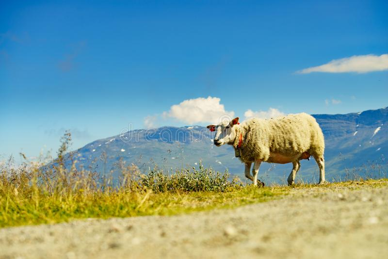 Sheep in mountains, Norway. Single sheep grazing in mountains. Norway landscape royalty free stock image