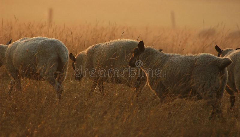 Download Sheep on the Move stock photo. Image of golden, dawn, sheep - 203496