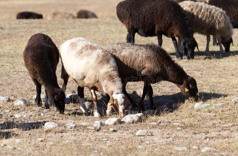 Sheep in nature in autumn royalty free stock photo