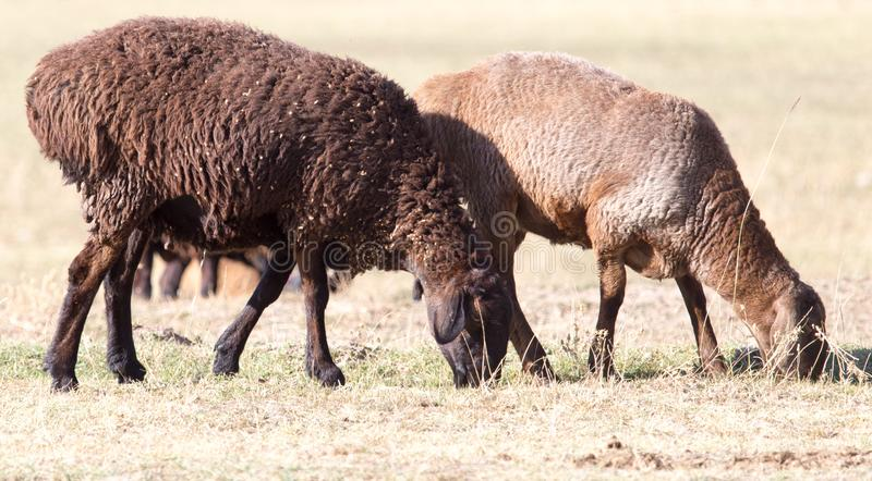 Sheep in nature in autumn royalty free stock photography
