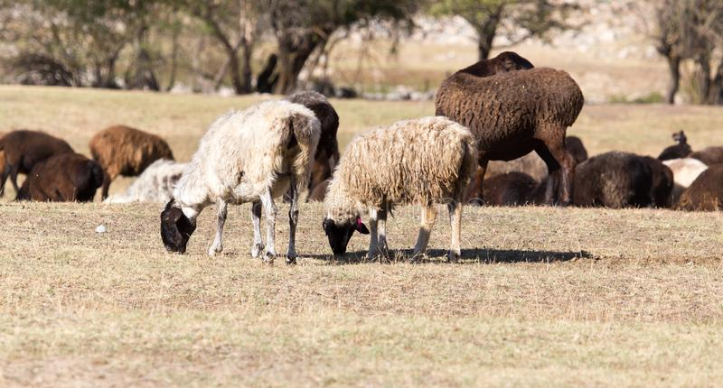 Sheep in nature in autumn stock photography