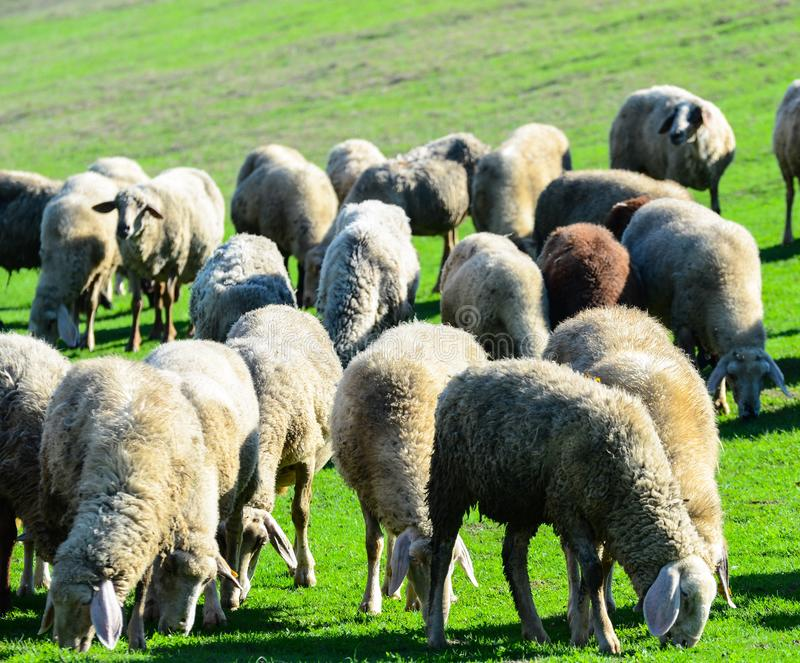 Sheep in nature grazing royalty free stock photo