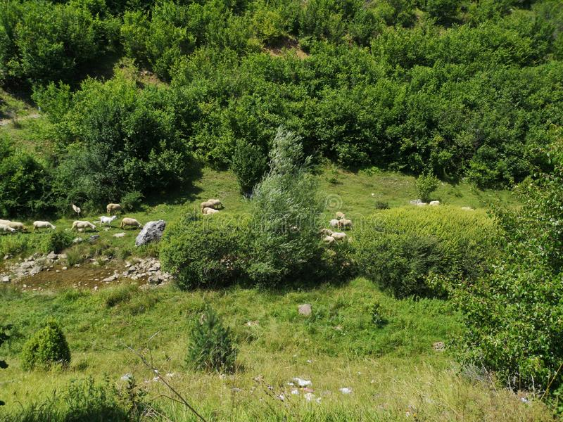 Sheep in nature royalty free stock image