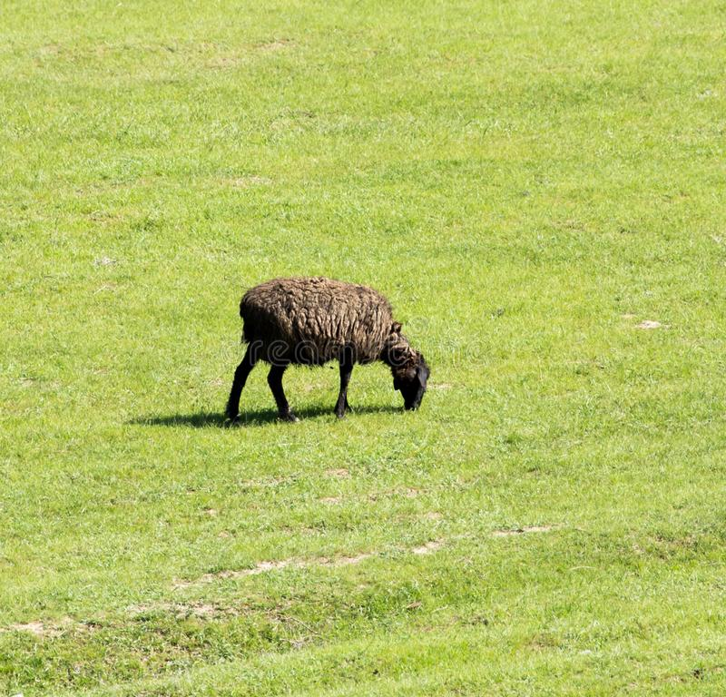 Sheep in nature stock images