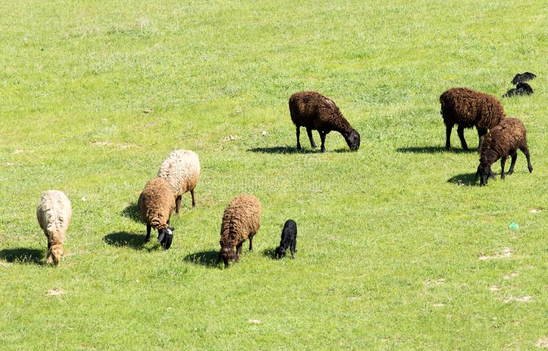 Sheep in nature stock photography