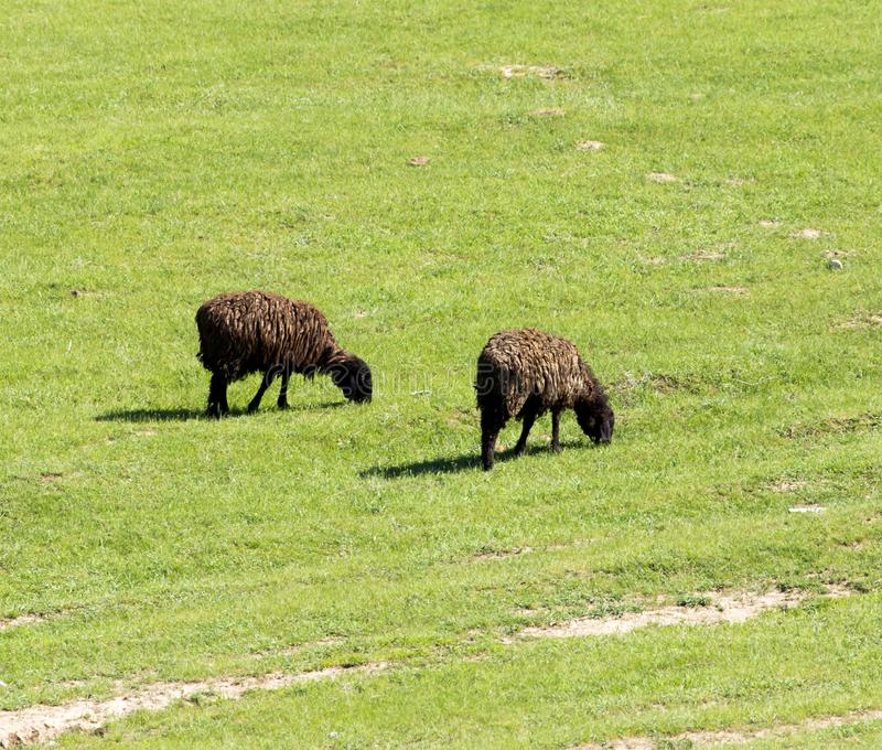 Sheep in nature royalty free stock photo