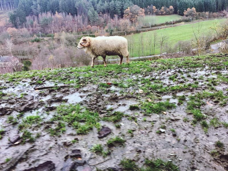 Sheep in nature royalty free stock photos