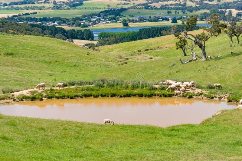 Sheep near the dam, lake nature background stock photography